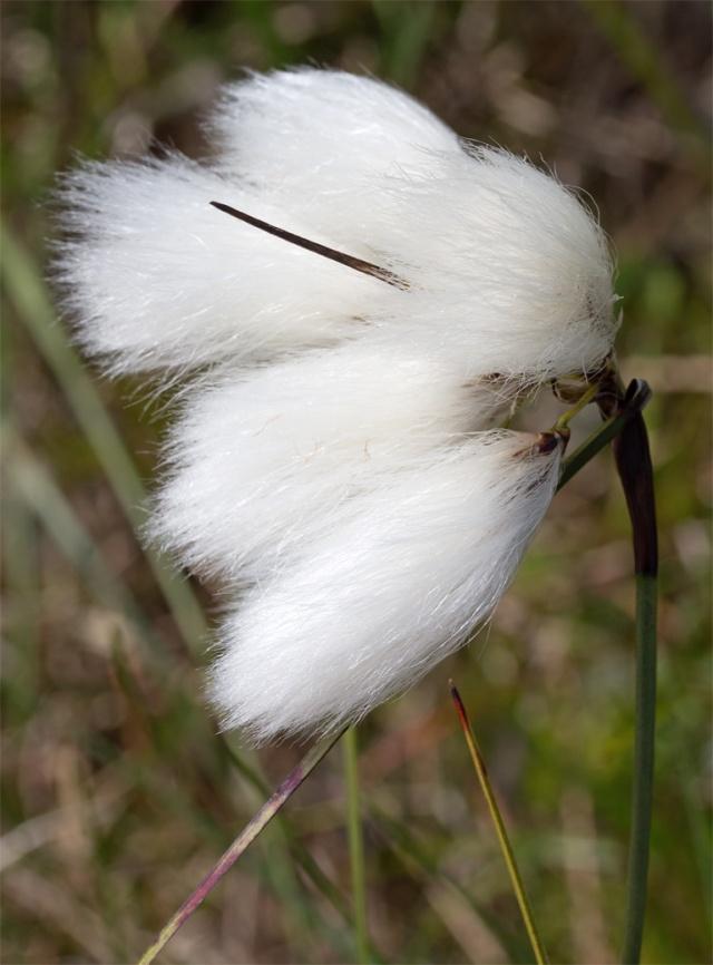 Flanders Moss Cotton Grass 6-26-13