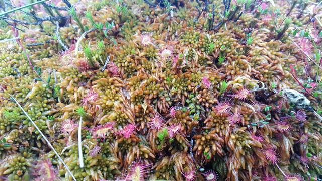 Sphagnum austinii (2)Buxbaumia viridis cropped 2