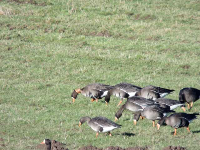 Greenland whitefront collared X3C - Middle Gartocharn Farm - Jack Brown -01 (A850592)