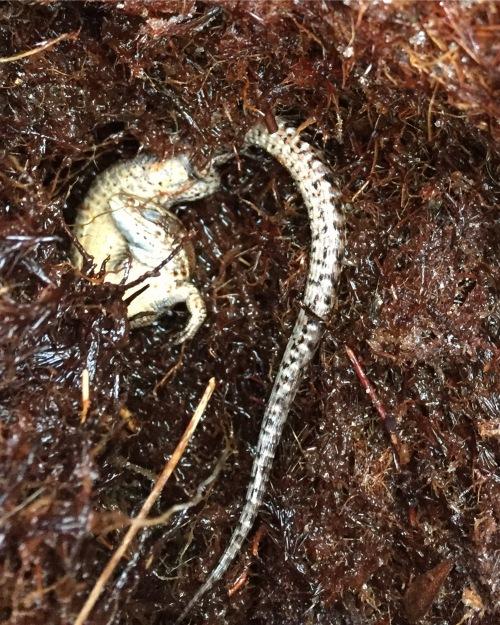 Common Lizard Hibernating
