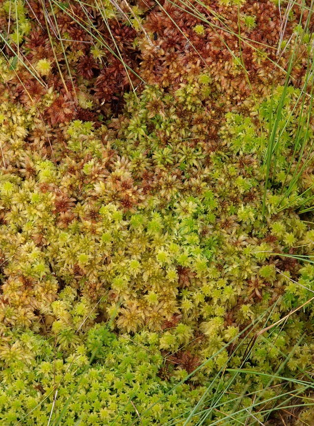 Flanders Moss Sphagnum 8-9-10 Edwards 01