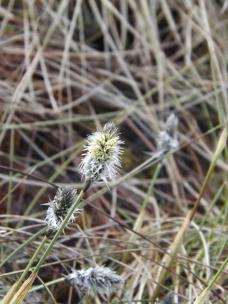 Cotton grass - March