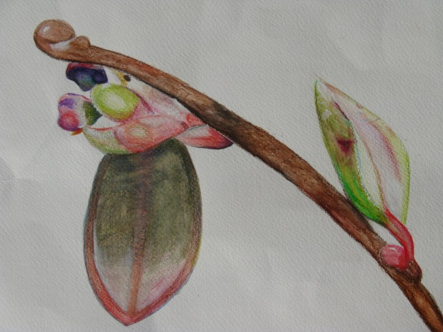 Flanders Moss NNR - under the microscope - artwork for leaflet - cranberry bud May 18 (A2636392)