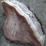 Horseshoe fungu showing the pores on the underside