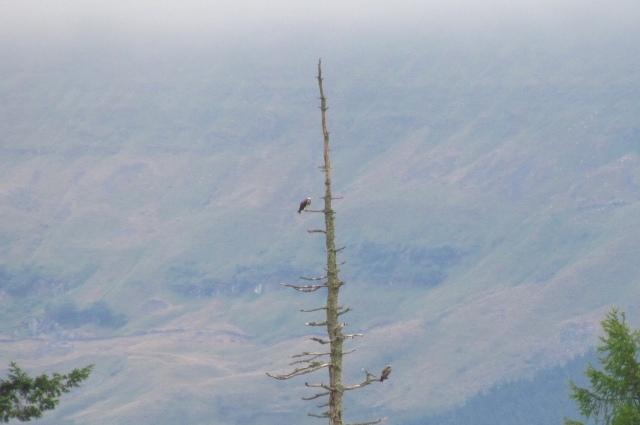 osprey nest 1