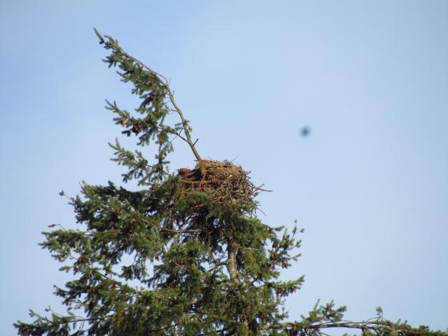 osprey nest 3