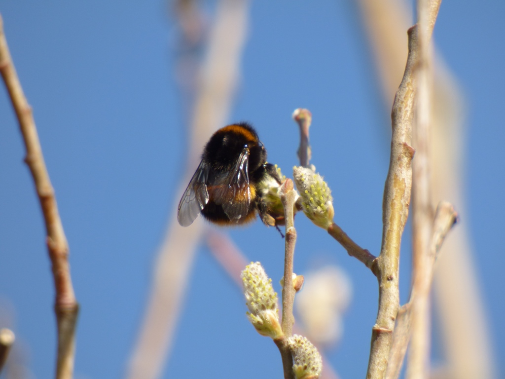 Bumble bee on willow
