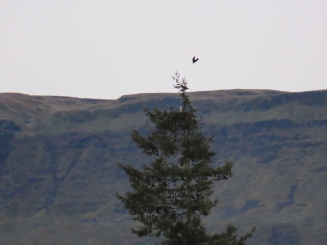 ralph osprey 1 4-19