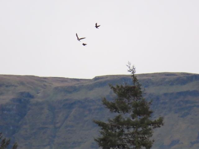 ralph osprey 2 4-19