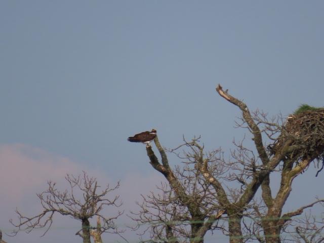 ralph osprey 3 4-19