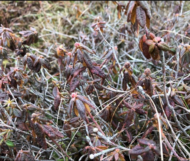 Labrador Tea on Flanders Moss (Photo Lisa O'Brien)